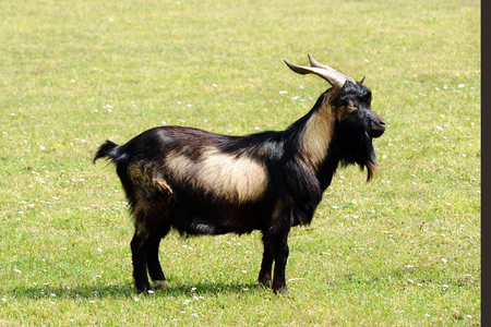 nanny goat: Side profile of a Tibetan nanny goat with heavy horns and a shaggy brown coat standing sideways in a grassy pasture Stock Photo