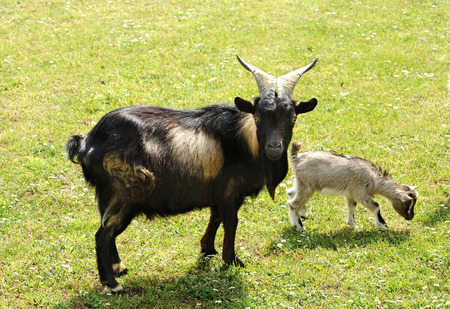 nanny: Tibetan nanny goat with a baby kid grazing in a green grassy pasture standing sideways looking at the camera