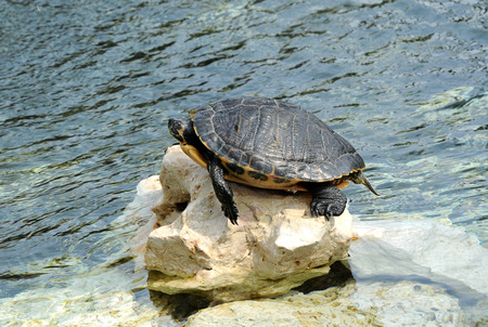 balanced rocks: Turtle Sunbathing with Head Sticking Out of Shell on Rock Along Shoreline of Water Stock Photo