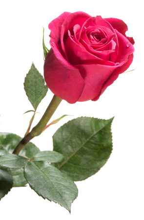 Single Red Rose Isolated On White Symbolic Of Love And Romance