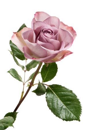 Single Lavender Colored Rose with Green Leaves Isolated on White Background Stockfoto