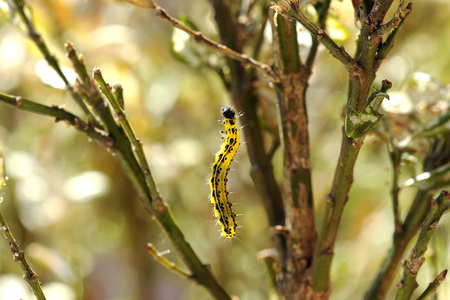 voracious: Colorful yellow and black caterpillar, the larva of a moth or butterfly garden and a voracious pest eating the leaves and stems of plantss, against a background of garden trees