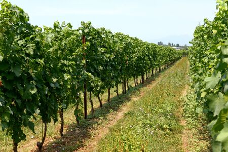 viticulture: Neat rows of trellised vines in a spring or summer vineyard with grapes ripening on the vine for use in a winery for viticulture and wine making