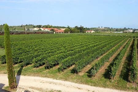 viticulture: Landscape view of a neat summer vineyard with rows of trellised green vines on a winery with ripening grapes for viticulture and wine-making Stock Photo