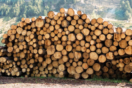 felled: Large woodpile of felled trees stacked outdoors in a forest or woodland, a natural resource for use as a renewable fuel or in the construction and carpentry industries Stock Photo