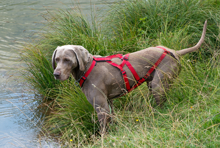 Weimaraner, a German dog bred for hunting, wearing a red harness standing on the grassy bank of a river or lake looking out across the water, full body profile view Banque d'images