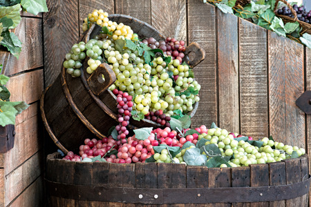 harvest: Display in a winery or tavern of red and white grapes spilling from a wooden bucket into a large barrel below conceptual of the grape harvest, wine making and viticulture