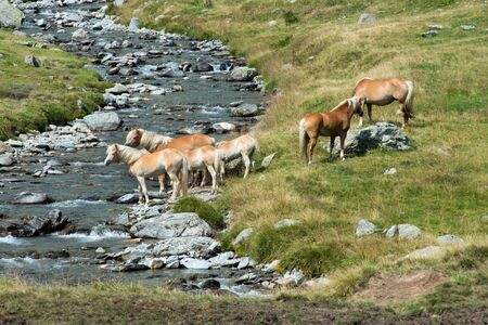 Herd of pretty wild horses with palomino manes ad tails standing grouped on a riverbank at the edge of a rocky rural stream