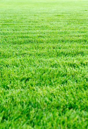 Fresh green spring or summer grass background texture of a mowed lawn with an uneven surface with wavy undulations, full frame receding into the distance