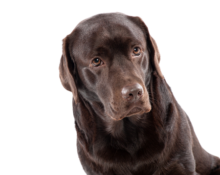 Lovely chocolate labrador sitting on white background