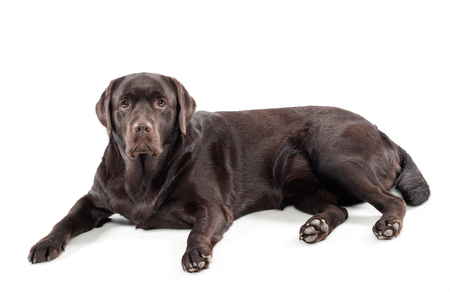 chocolate labrador: Chocolate labrador retriever lying on a white background looking at the camera with an alert curious expression, full length side view Stock Photo