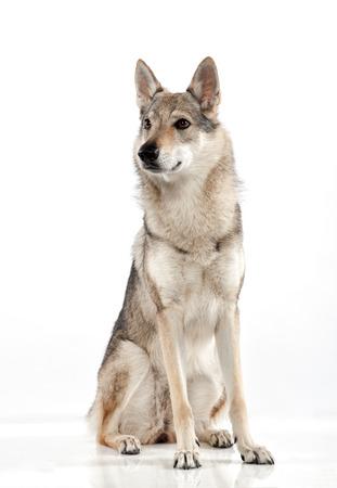 Czechoslovakian wolfdog oder Wolf-Hund, ein Hybrid zwischen einem Deutschen Schäferhund und Carpathian Wolf, sitzt vor der Kamera auf der Seite mit einer Warnung Ausdruck suchen, über Weiß Standard-Bild