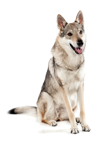 panting: Czechoslovakian wolfdog or wolf-dog, a hybrid between a German Shepherd dog and Carpathian wolf, sitting panting and looking alertly to the right side, over white