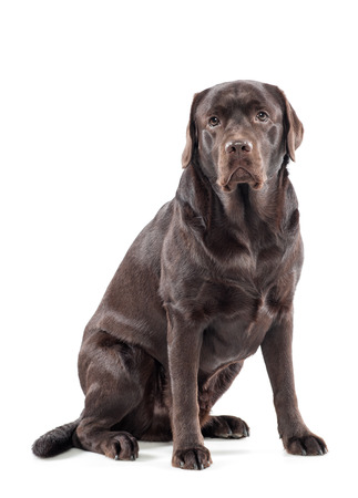 chocolate labrador: Big gentle chocolate labrador retriever sitting looking at the camera with a docile expression, over white