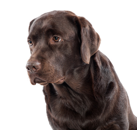 chocolate labrador: Head and shoulders portrait of a gentle lovable chocolate labrador retriever looking off to the left side of the frame , isolated on white Stock Photo