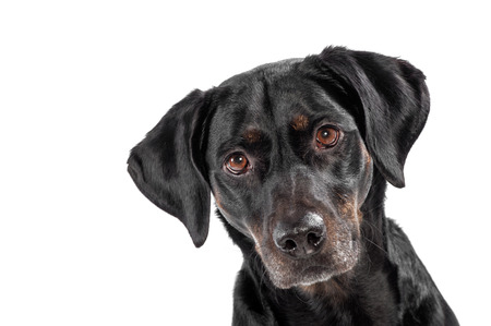 cocked: Curious cute black dog staring intently at the camera with cocked ears, head portrait isolated on white with copyspace Stock Photo