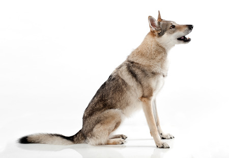 Czechoslovakian wolfdog or wolf-dog, a hybrid between a German Shepherd dog and Carpathian wolf bred originally by the military, sitting barking or panting, side view over white