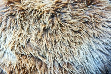 Fur texture closeup with soft shaggy hair