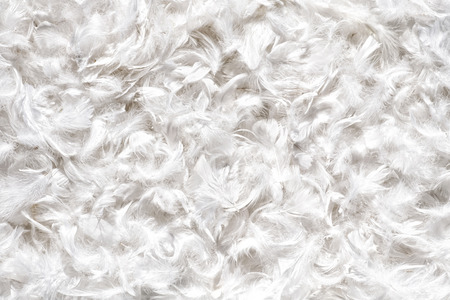 Background texture of soft white duck or goose feathers arranged in a layer in a full frame view Stock Photo