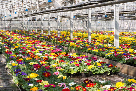 hothouse: Colorful spring primroses growing in flowerpots in a large hothouse at a nursery or a floriculture farm ready for sale as houseplants