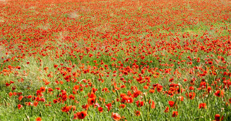 papaver rhoeas: Panoramic view of red corn poppies, Papaver rhoeas, growing in an agricultural field between the cereal crop producing a vivid colorful display