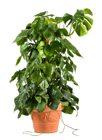 Leafy green delicious monster plant in a terracotta flowerpot growing up a central stake for indoor or patio decor as an ornamental foliage plant, over white Stock Photo