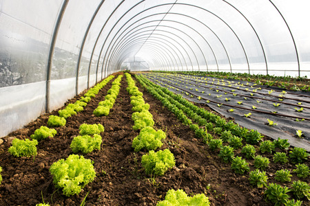 Interior of an agricultural greenhouse or tunnel with long rows of fresh green spring salad seedlings being cultivated for the table with lettuce and corn salad Stock Photo