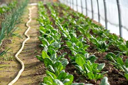 Rows of little spinach growing in greenhouse. Single irrigation hose and green onions beside them.