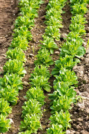 Planted out rows of corn salad, Valerianella locusta, seedlings in an agricultural hothouse in spring in a close up overhead view of the young green plants Stock Photo