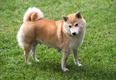 teats: Side view of female shiba inu dog with nursing teats stood on green grass
