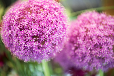Colorful purple flower of Allium giganteum, or the Asian Gian Onion, cultivated as a food and as an ornamental garden plant