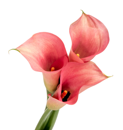 arum: Isolated bunch of red Calla Lilies, or arums, with their colorful spathe and spadix viewed close up high angle