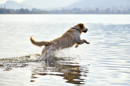 Golden retriever dog playing in lake water on sunny day