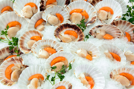 Display of opened fresh raw scallops in their shells on a bed of crushed ice at a fish market or supermarket in a close up full frame view