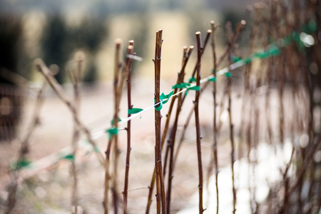 Raspberry canes cultivation in winter outdoors on a farm or garden in a close up view