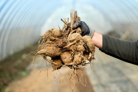 Gardener in a tunnel holding a bunch of dahlia tubers in his hand in a concept of nursery propagation or floriculture Standard-Bild