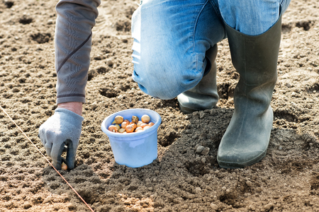Farmer planting white onion seeds into the field into a specially prepared bed in a concept of agronomy and the spring season