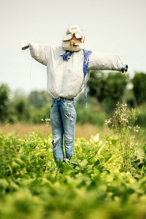 Realistic scarecrow in old blue jeans and hat in a farm field viewed across a leafy green crop to scare the birds away Stock Photo