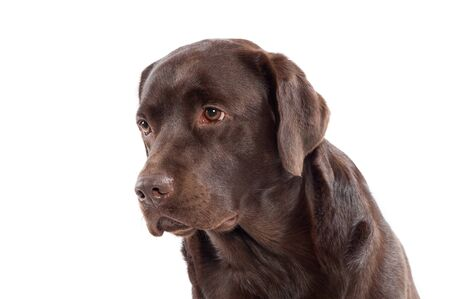 Close up headshot of a chocolate brown Labrador retriever puppy looking to the side with a calm expression isolated on white