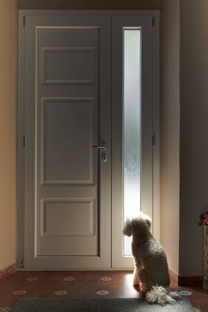 Little white dog sitting waiting patiently inside a house at a closed door with glass side panel for its owner to come home