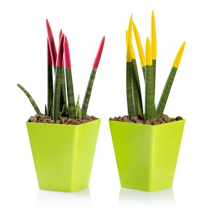 Colorful ornamental swordlike leaves of a Sanseveria Pencil plant tipped with velvety paint in colored flowerpots