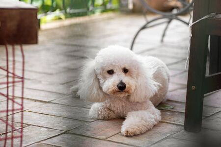 Cute little curly white poodle lying on the tiles of an outdoor patio keeping a watchful eye between the furniture in a low angle view