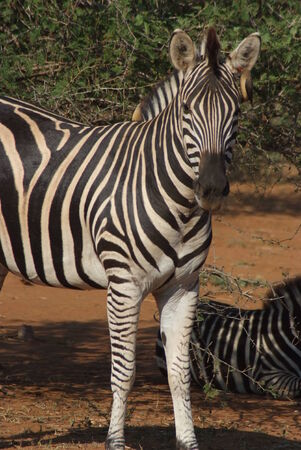 black moor: zebra kruger national park south africa
