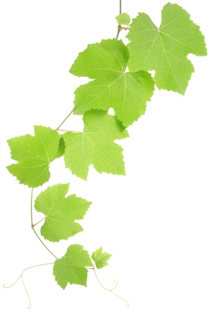 Grape leaves isolated photo