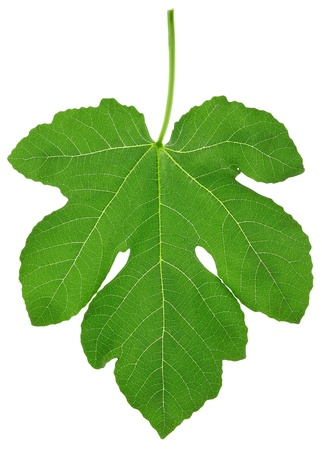 Fig leaf with clipping path Stock Photo - 8505221