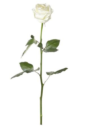 Rose isolated on white background photo