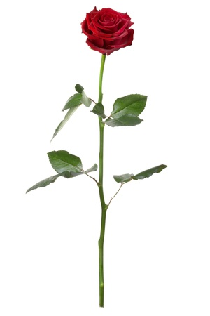 red head: Red rose isolated on white background Stock Photo