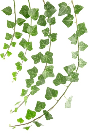 creepers: Ivy branches isolated on white