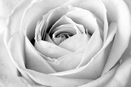 rosas negras: Blanca Rosa de cerca