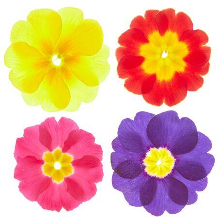 primula: Primula, spring flower  Stock Photo